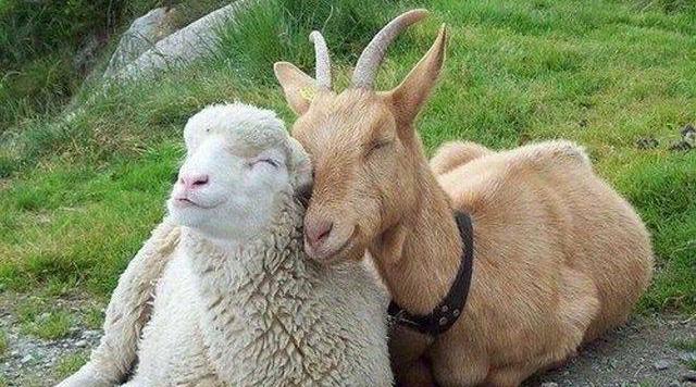 Коза и овца